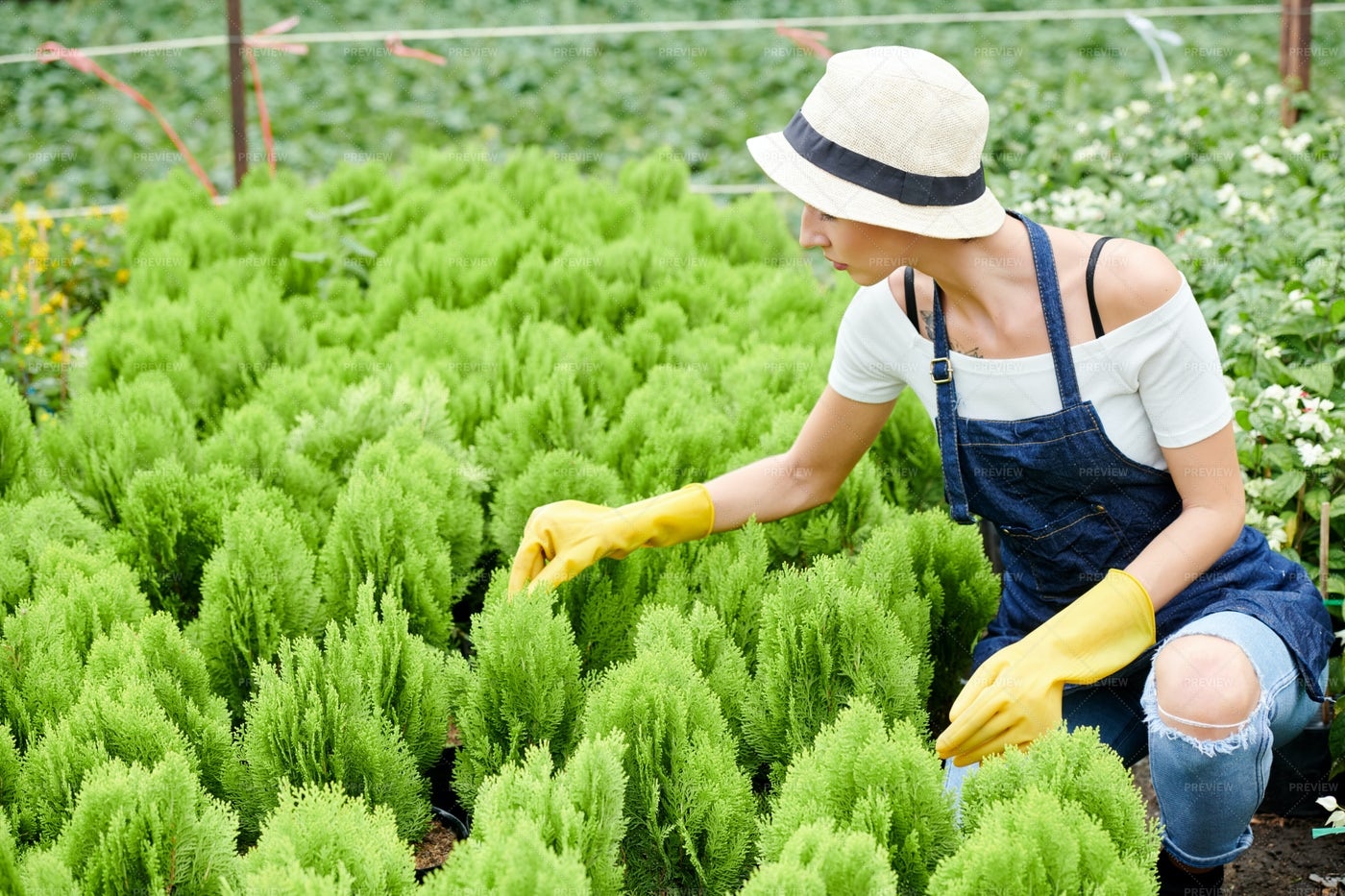 Gardening Specialist Checking Cypress: Stock Photos