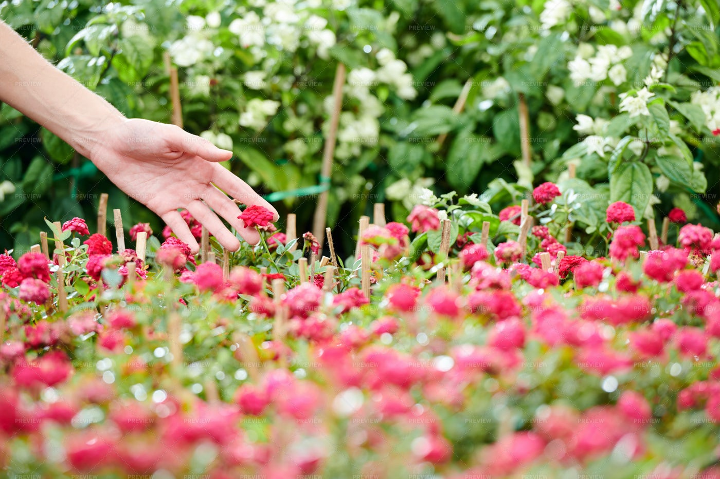 Woman Touching Blooming Flowers: Stock Photos