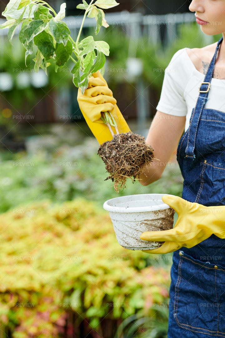 Woman Taking Plant Out Of Pot: Stock Photos