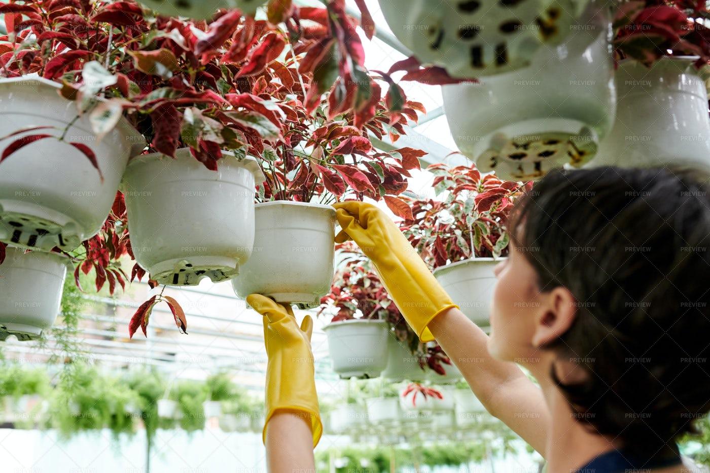 Plant Nursery Worker Checking Flowers: Stock Photos