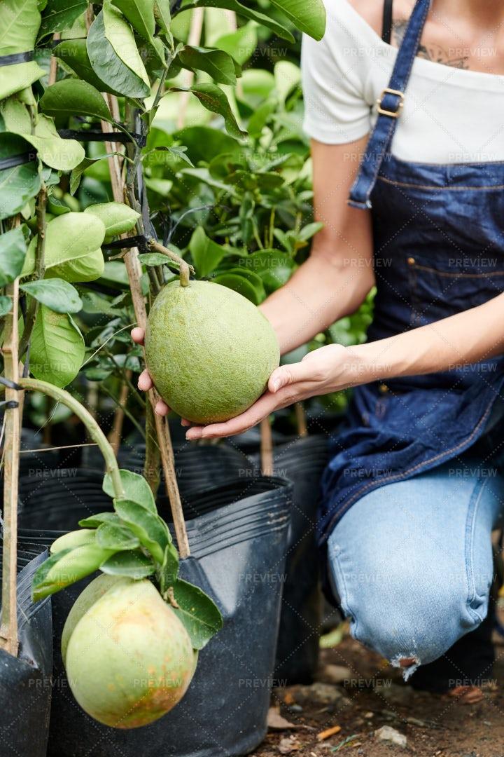Woman In Apron Checking Growing Pomelo: Stock Photos