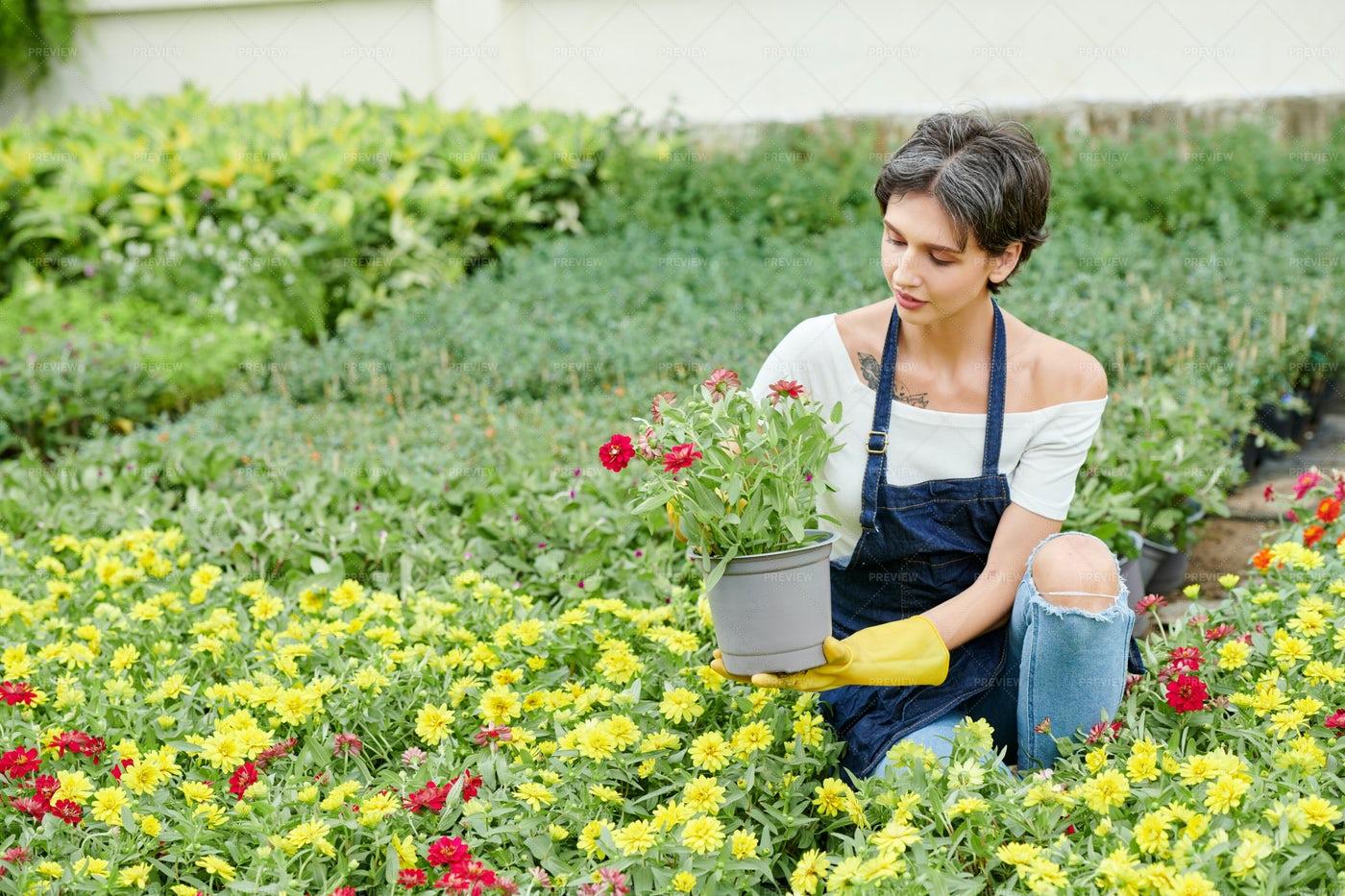Female Gardener Pricking Out Blooming: Stock Photos