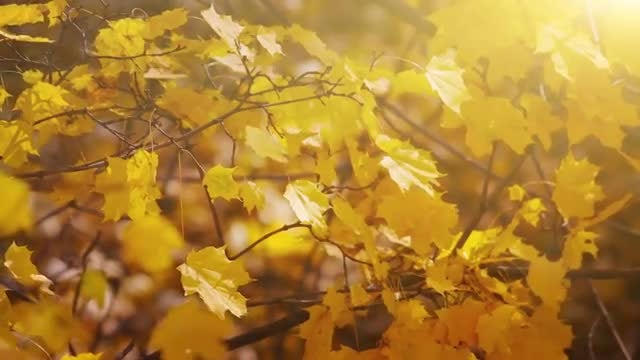 Autumn Leaves: Stock Video