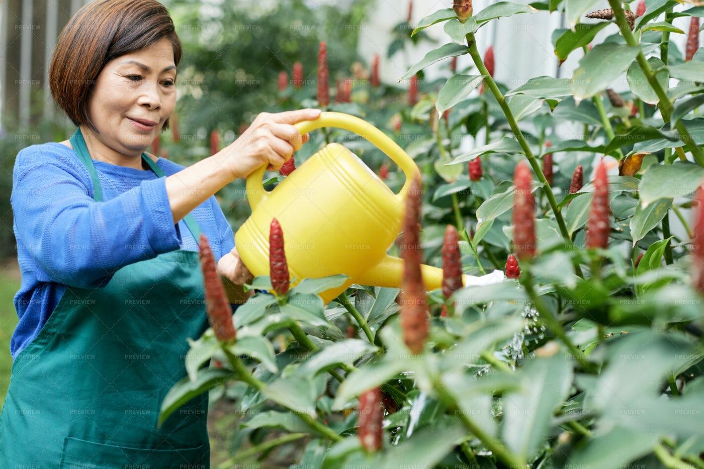 Woman Watering Bushes In Garden: Stock Photos