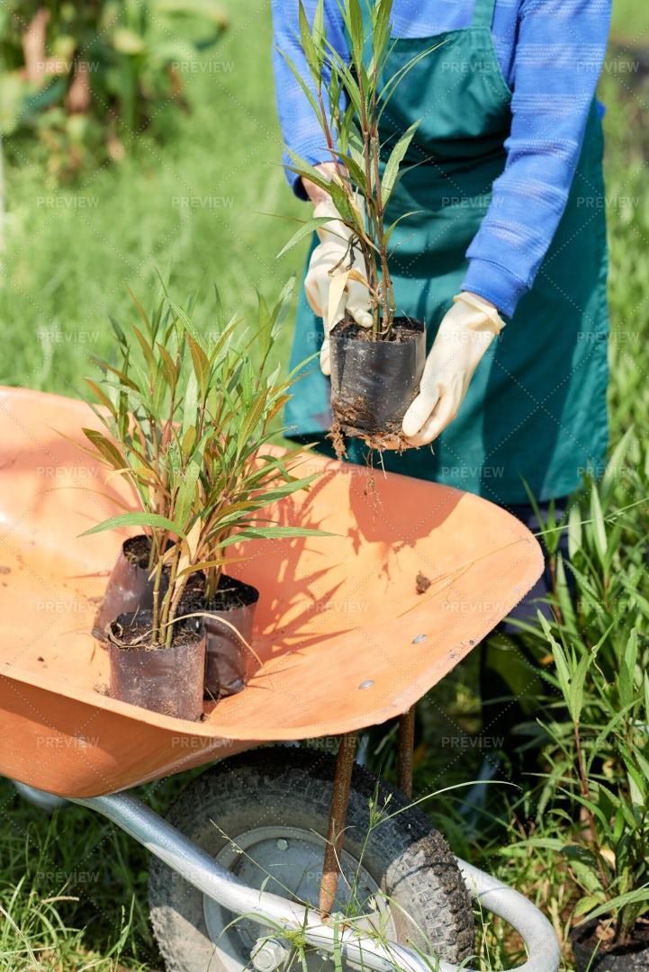 Garden Worker Planting Bamboo: Stock Photos