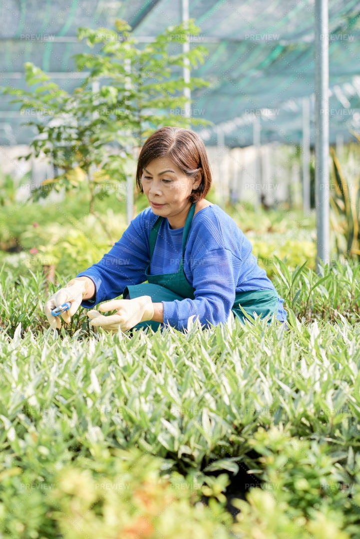 Aged Woman Cutting Plants In Hothouse: Stock Photos