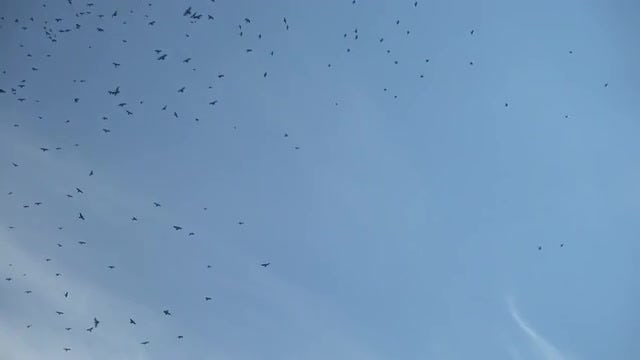 Crows In The Sky: Stock Video
