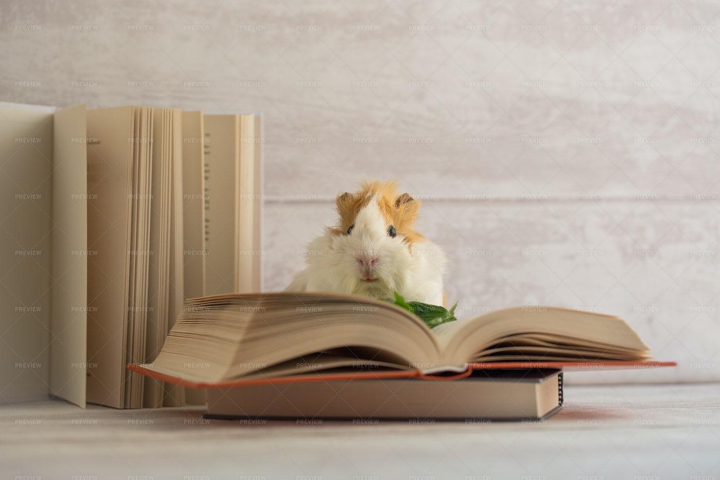 Guinea Pig And Books: Stock Photos