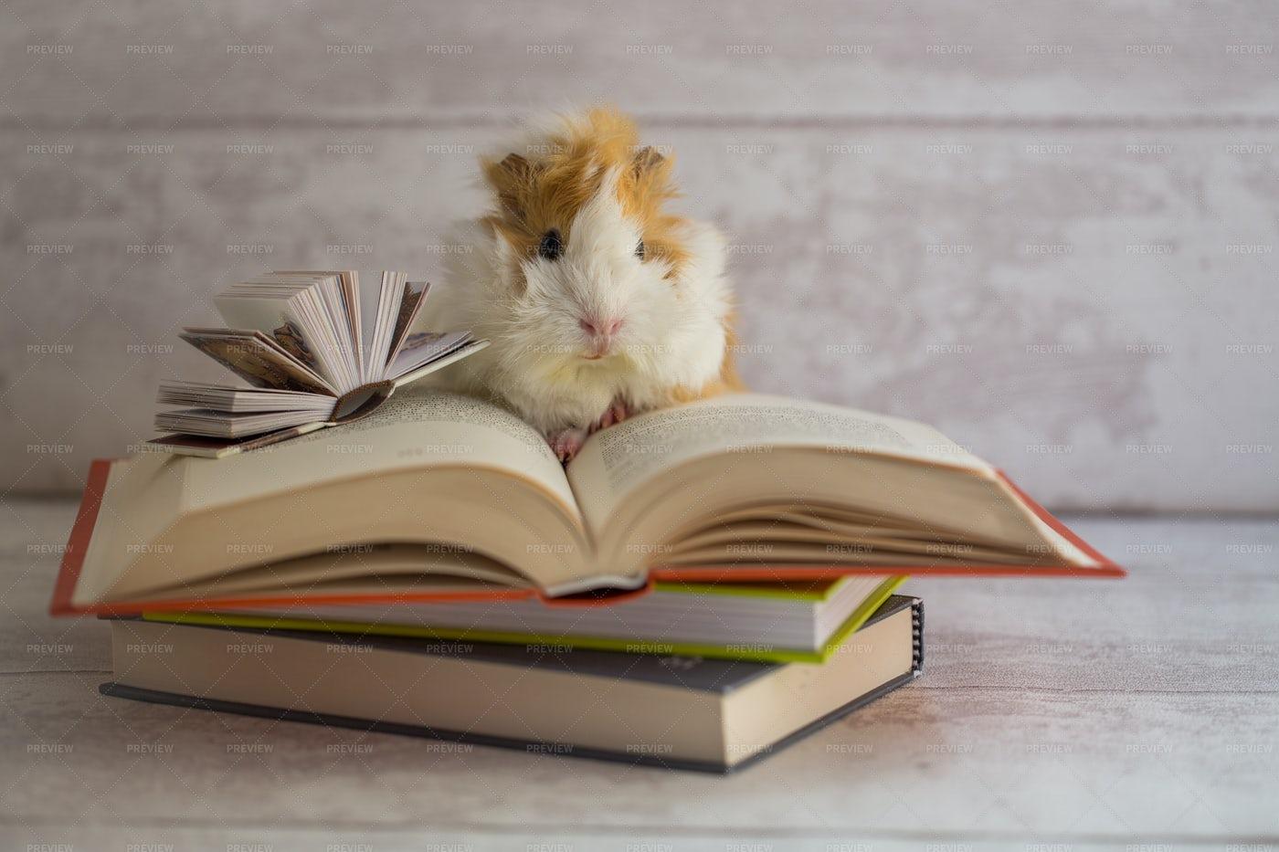 Guinea Pig On Open Book: Stock Photos
