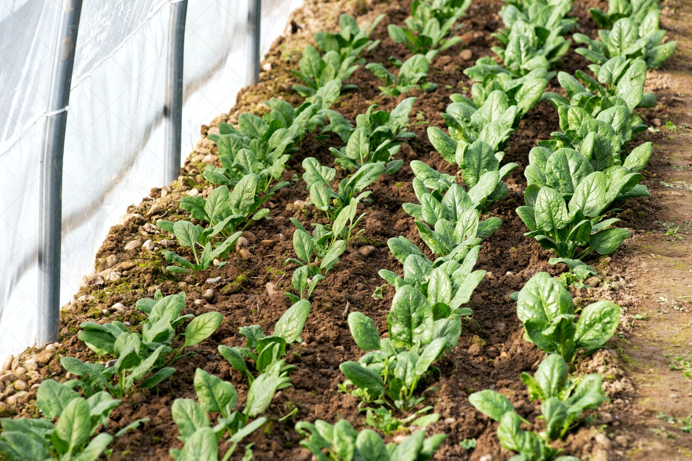 Spinach Growing In A Greenhouse: Stock Photos