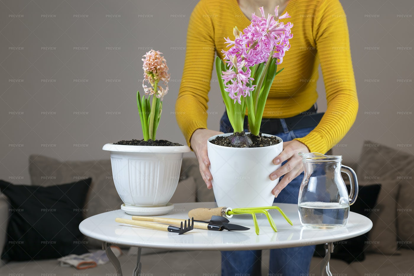 Transplanting A Pink Hyacinth: Stock Photos