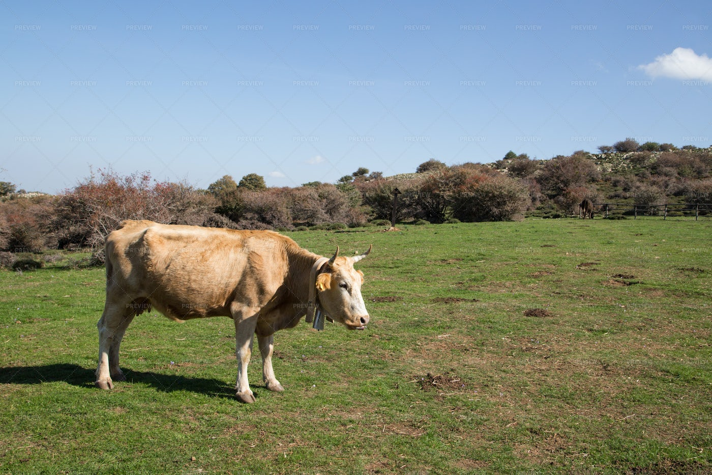 Cow Grazing On The Grass: Stock Photos