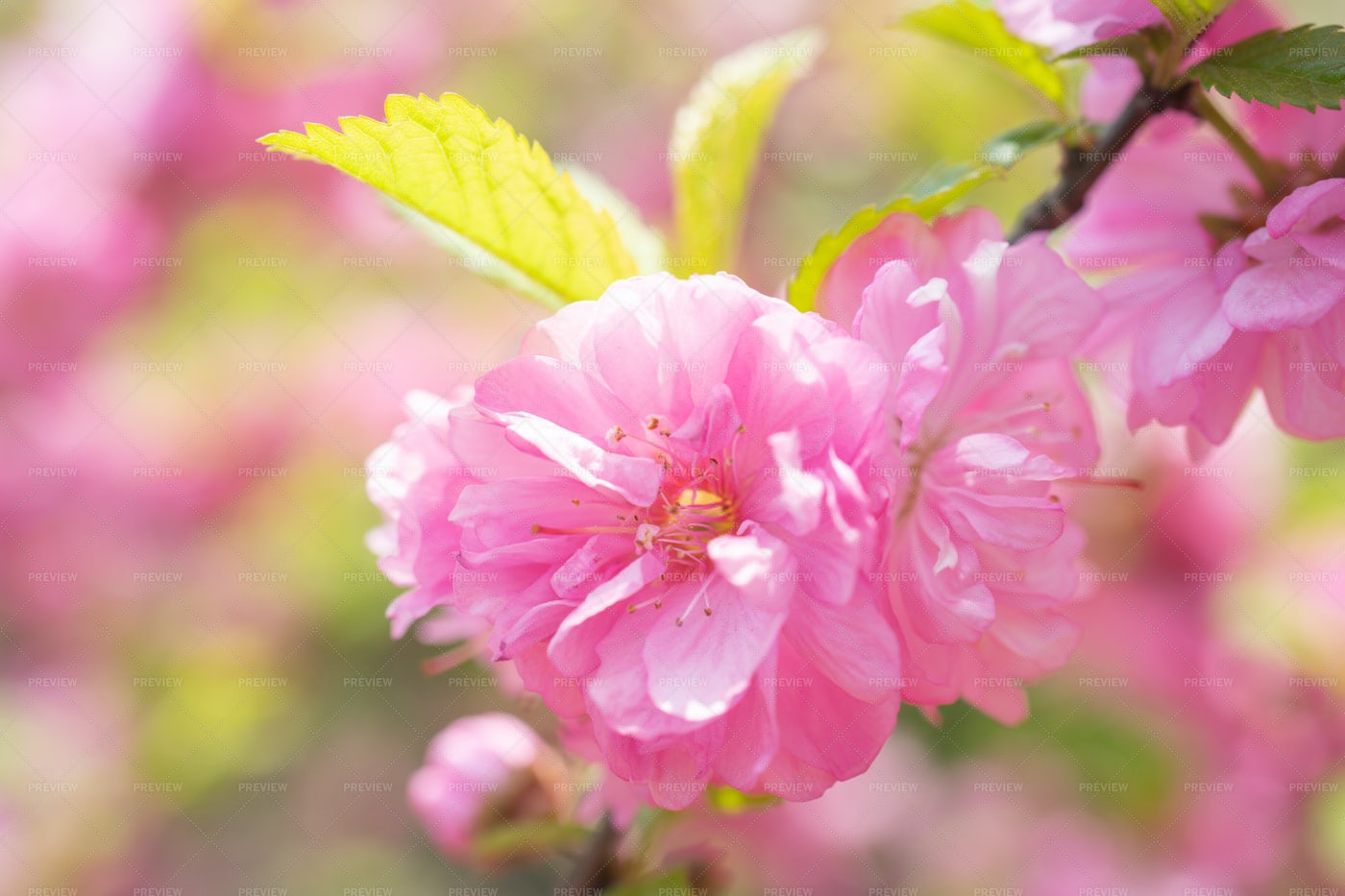 Pink Sakura Flower: Stock Photos