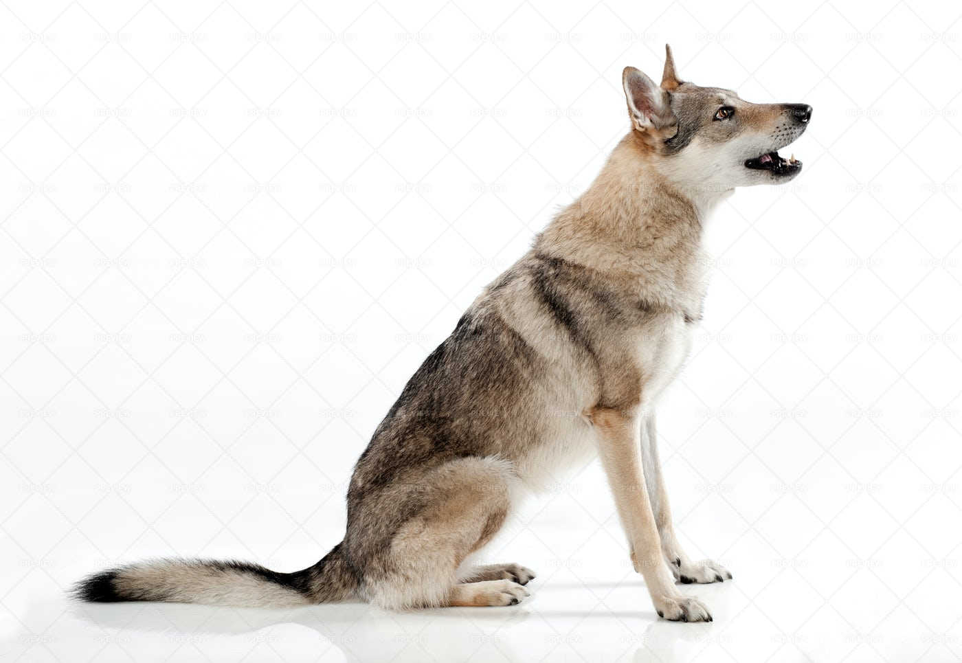 Czechoslovakian Wolfdog: Stock Photos