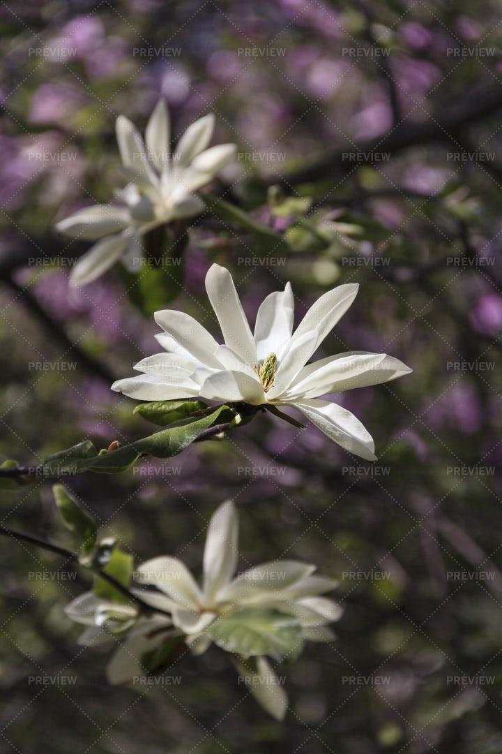 White Magnolias: Stock Photos