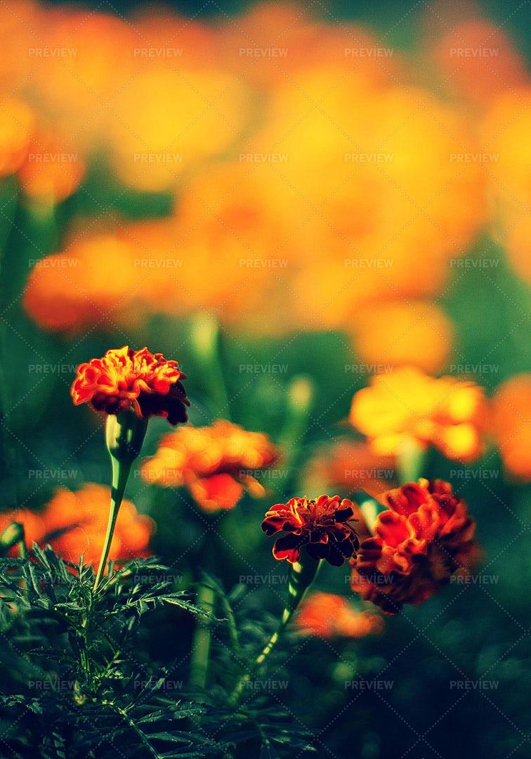 Orange And Yellow Flowers: Stock Photos