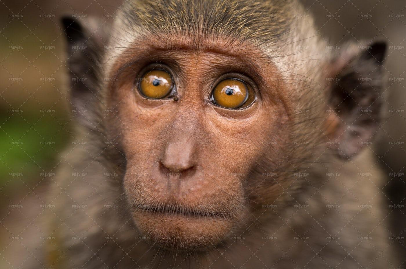 Face Of A Macaque: Stock Photos