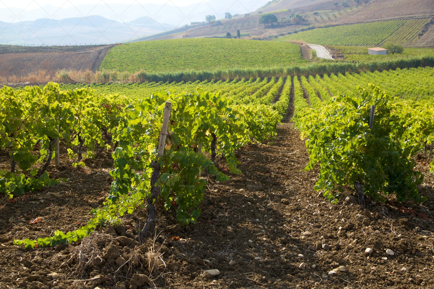 Vineyards In Sicily: Stock Photos