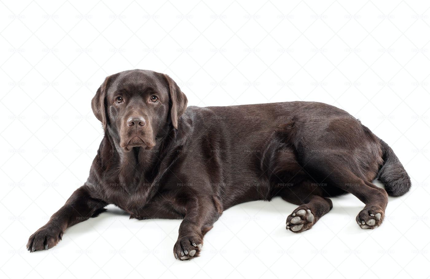 Chocolate Labrador Retriever: Stock Photos