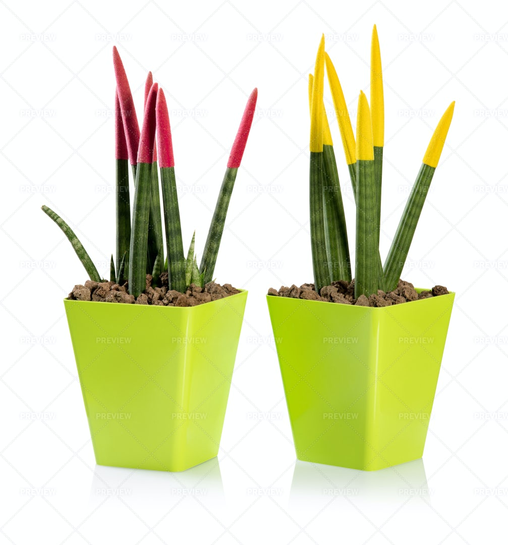 Colorful Sanseveria Leaves: Stock Photos
