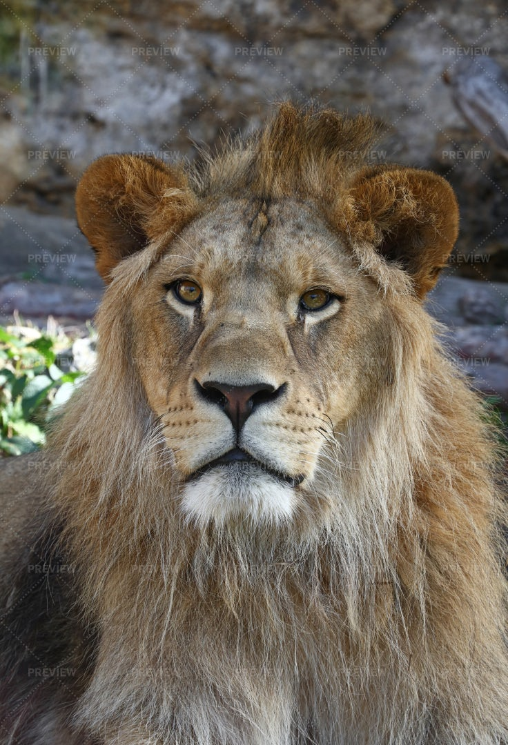 Sitting African Lion: Stock Photos