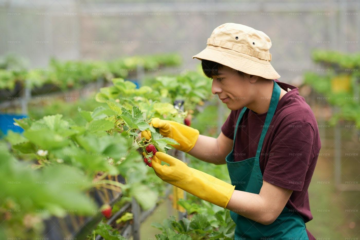 Analyzing Quality Of Strawberries: Stock Photos