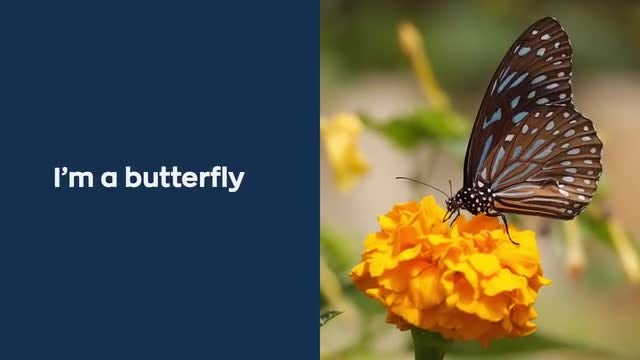 The Butterfly Template: After Effects Templates