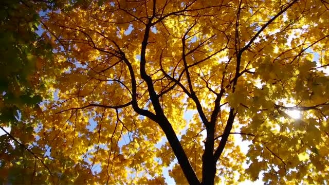 Autumn Tree: Stock Video