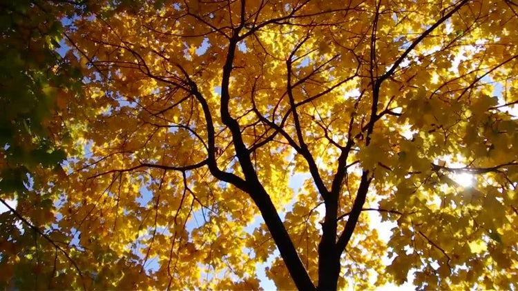 Autumn Tree: Stock Video