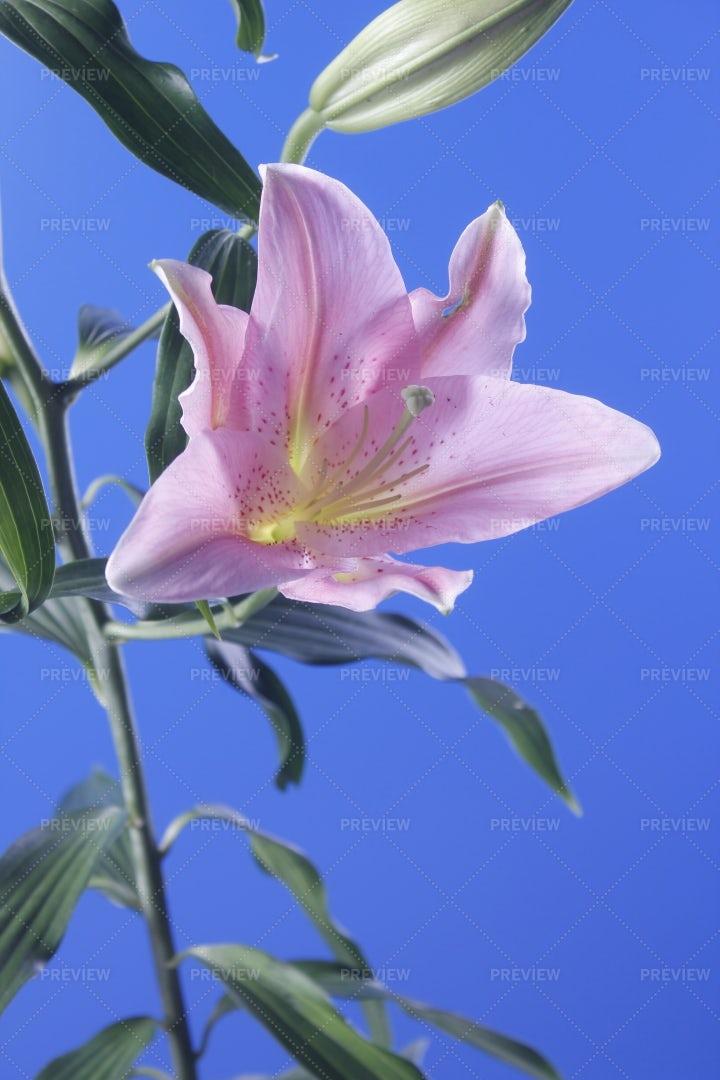Pink Lily: Stock Photos