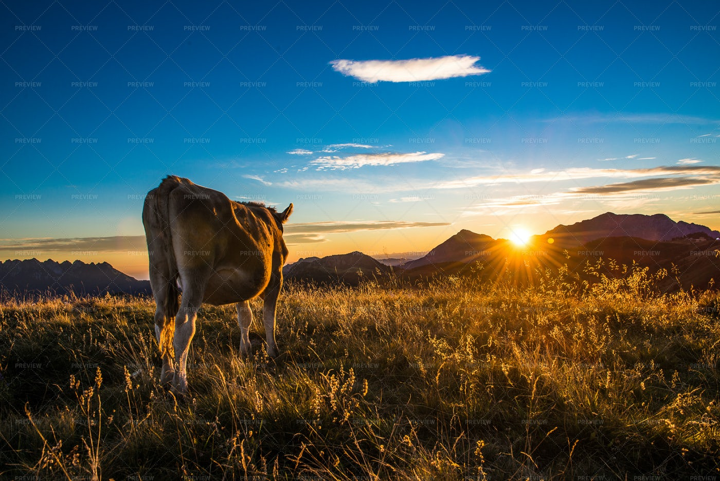 Grazing Cow At Sunset: Stock Photos