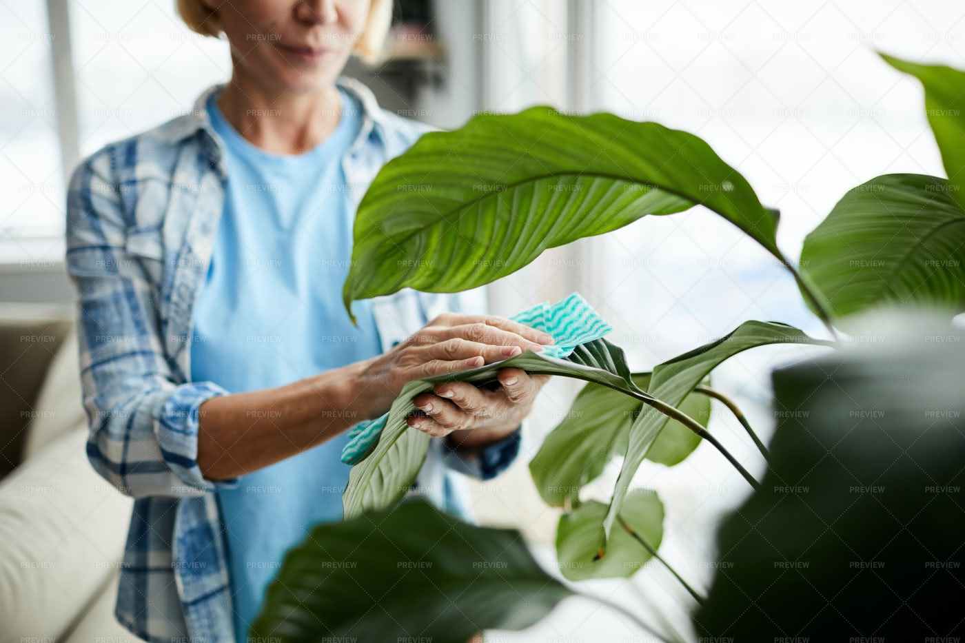 Cleaning Leaves Of Houseplant: Stock Photos