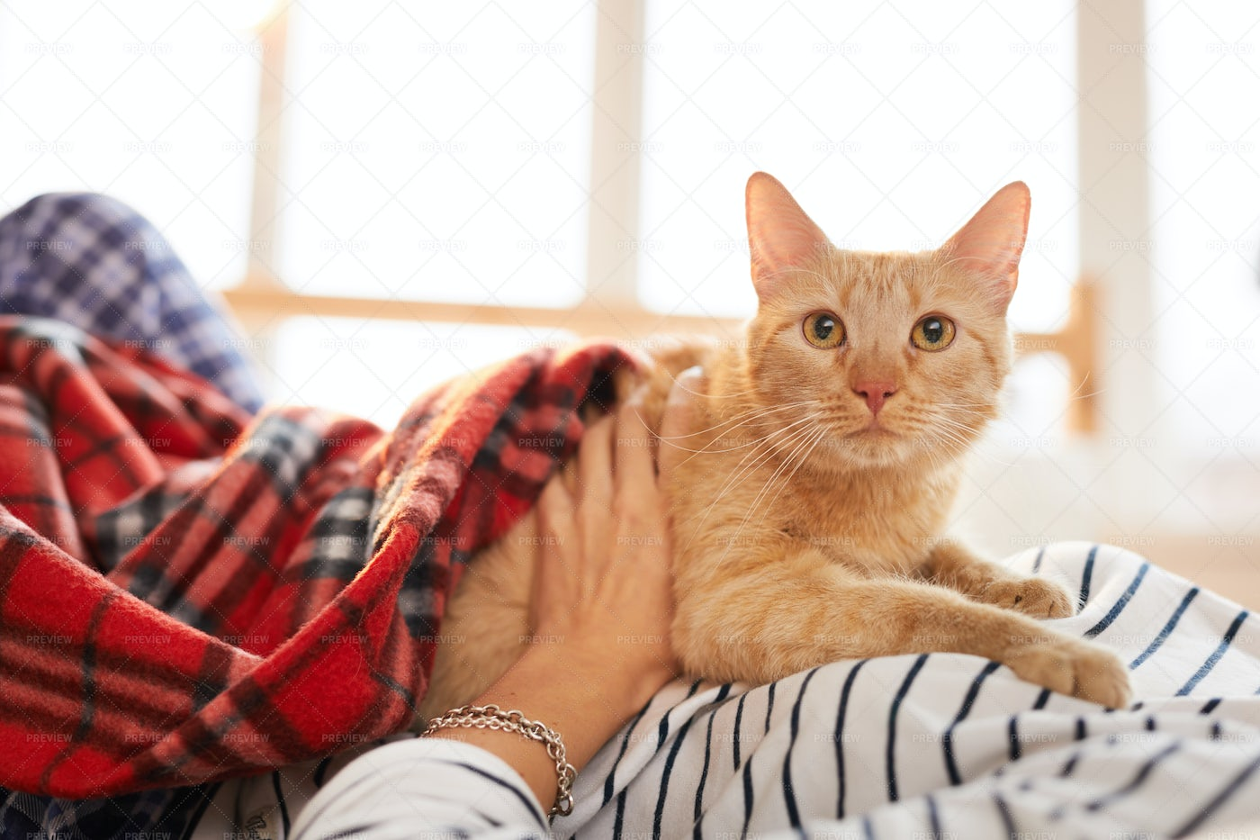 Ginger Cat Relaxing With Owner: Stock Photos