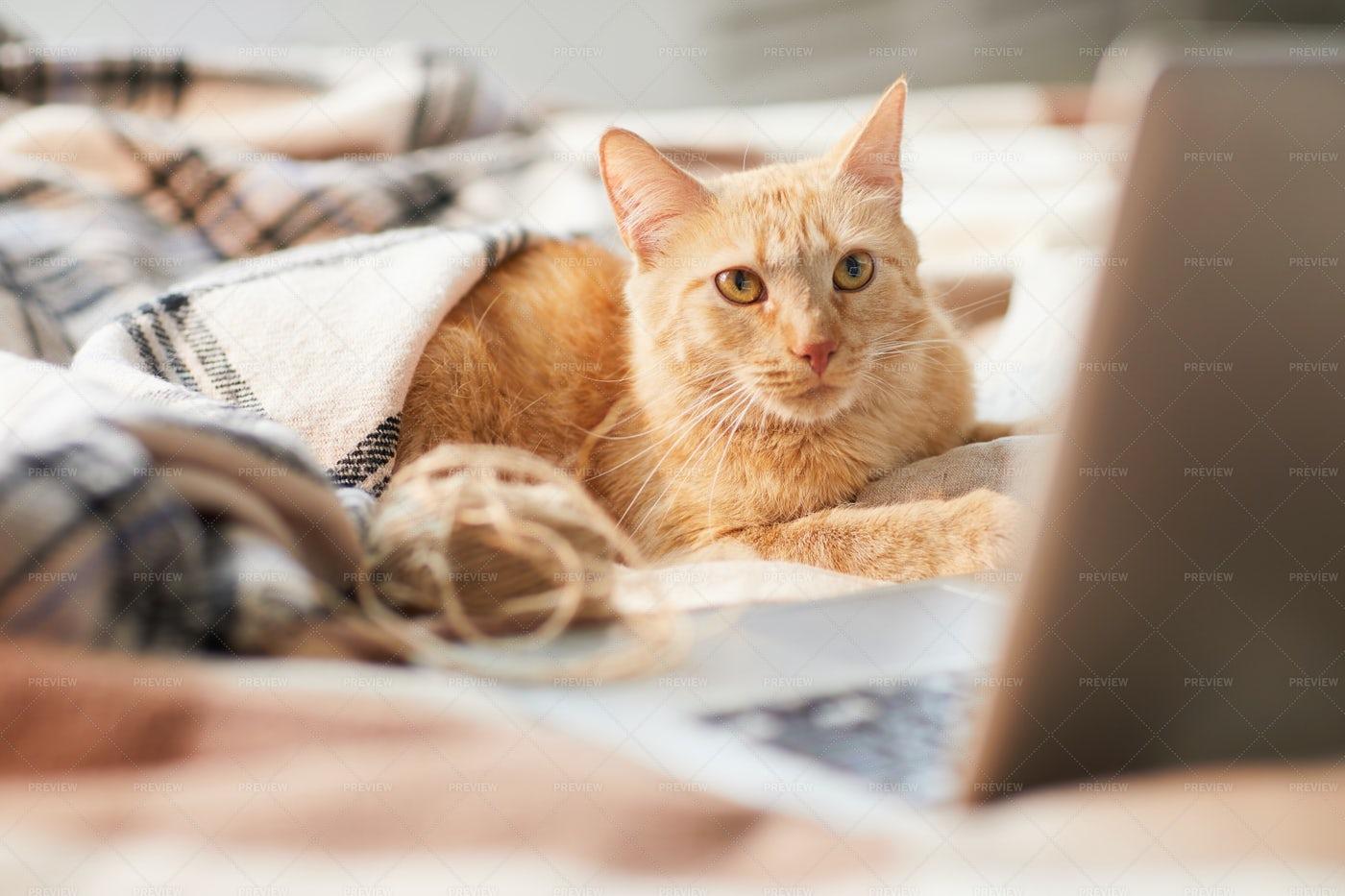 Ginger Cat Using Laptop: Stock Photos