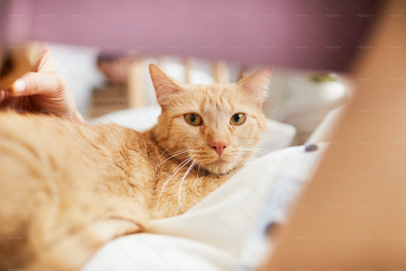 Shorthaired Ginger Cat Looking At...: Stock Photos