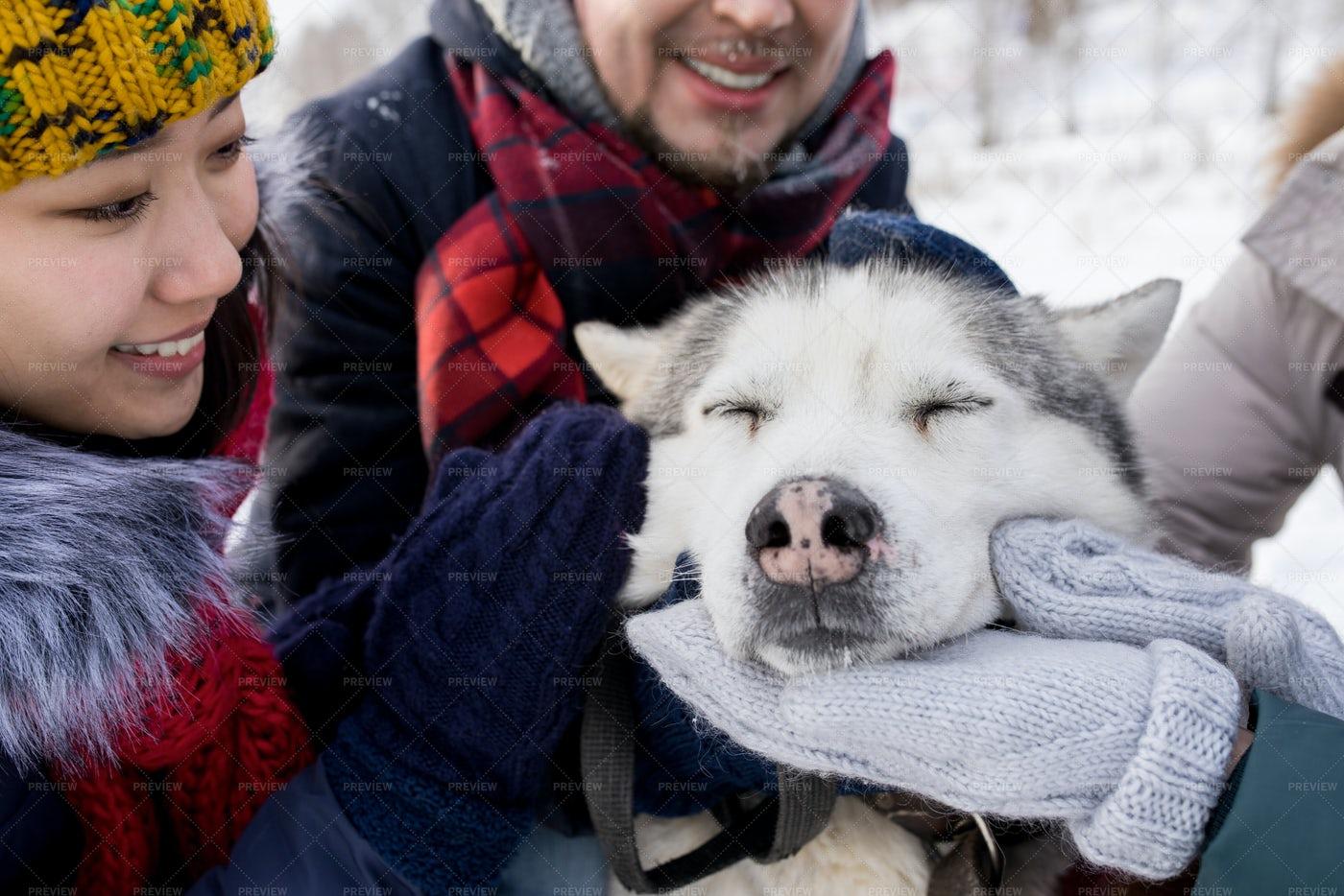 Husky Dog Enjoying Rubs: Stock Photos