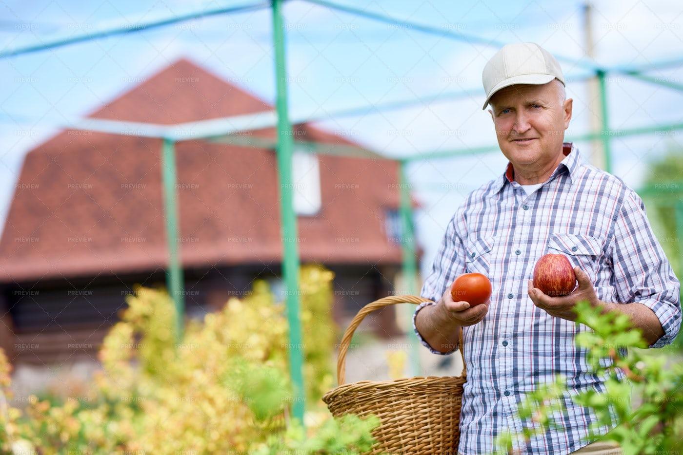 Happy Senior Man Gathering Harvest...: Stock Photos