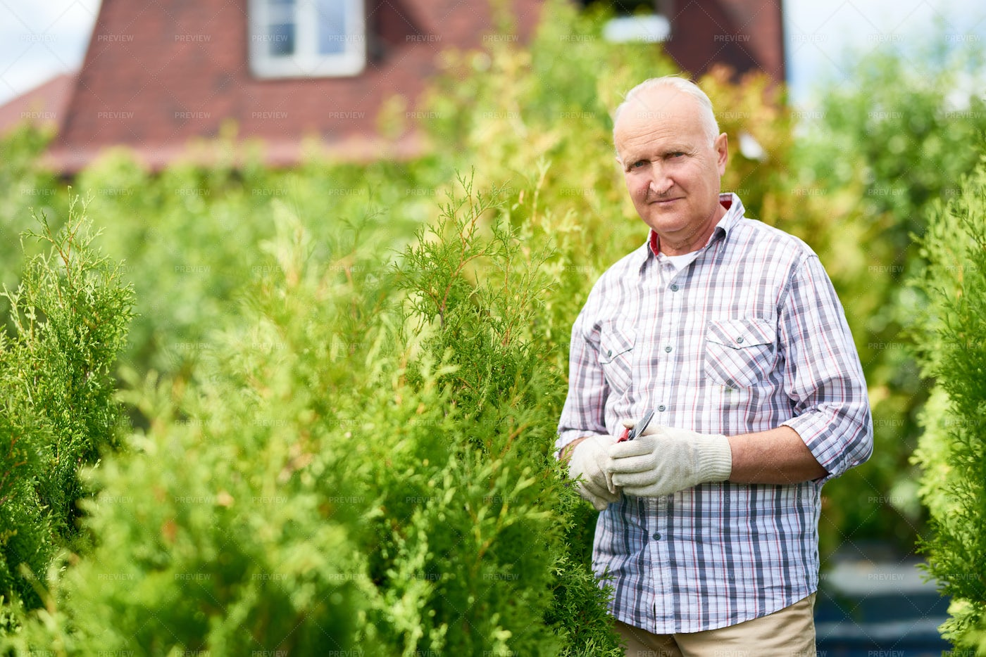 Senior Man Working With Plants In...: Stock Photos