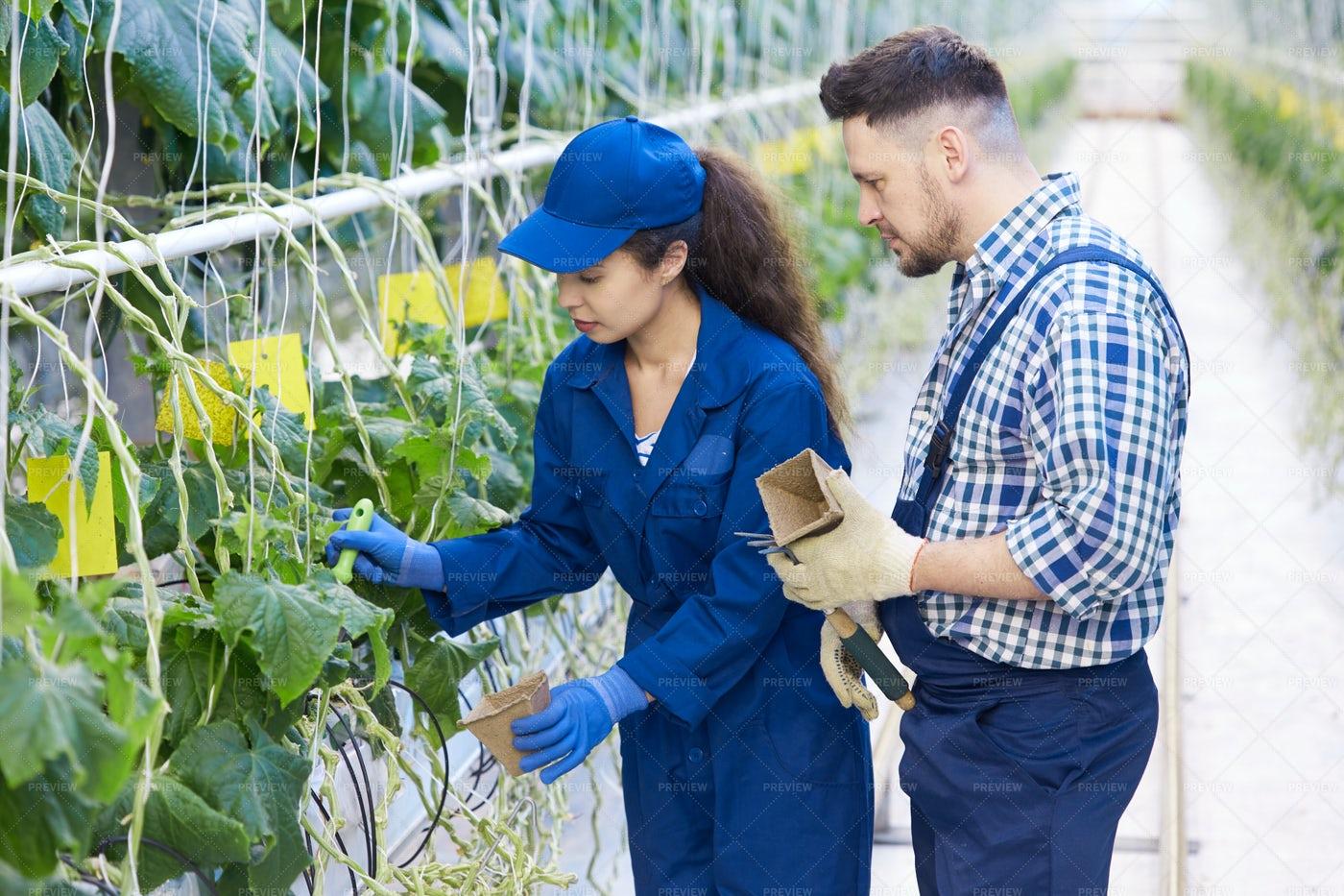 Farm Workers On Plantation: Stock Photos