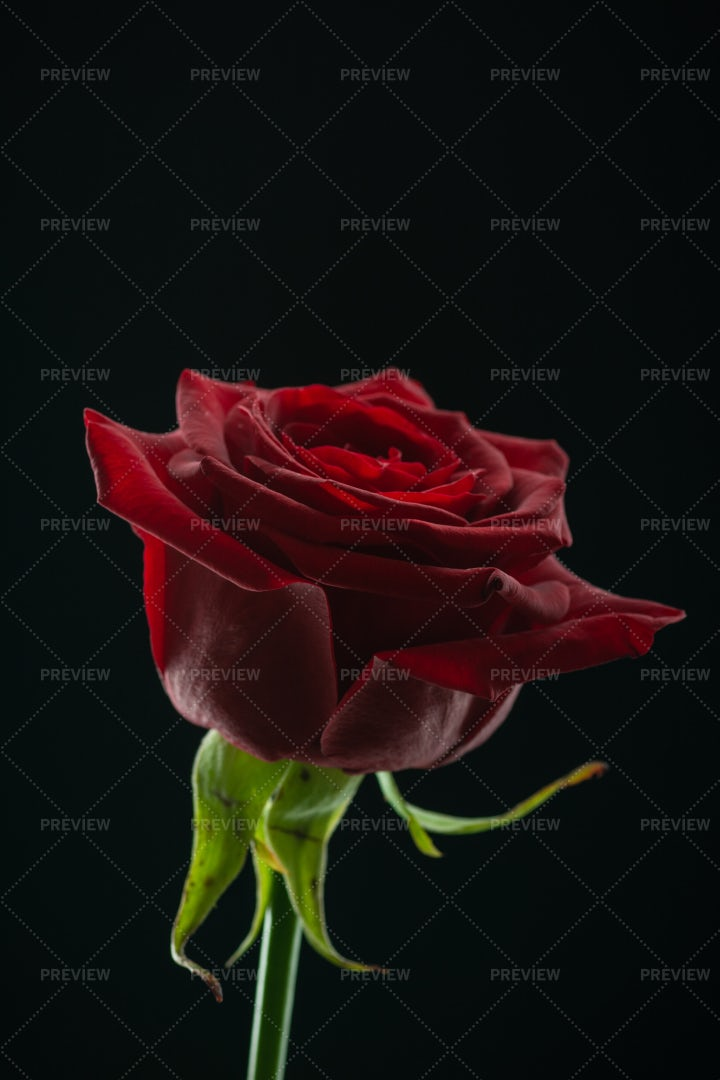 Elegant Red Rose: Stock Photos