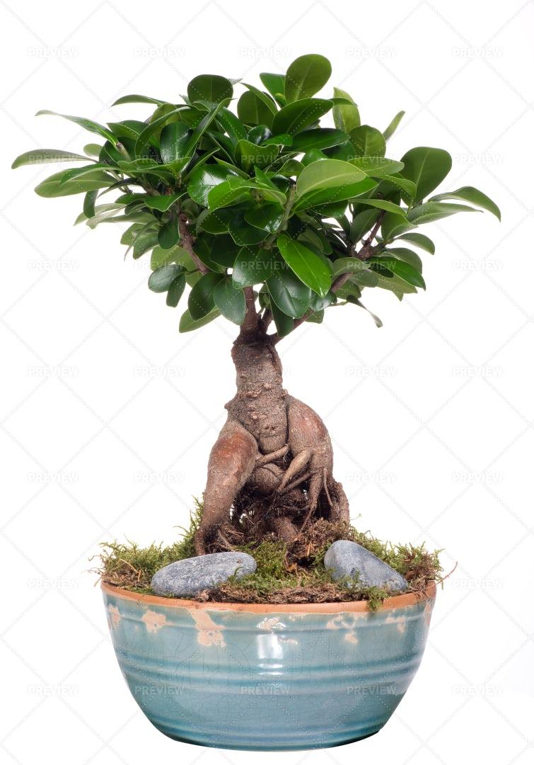 Bonsai Tree: Stock Photos