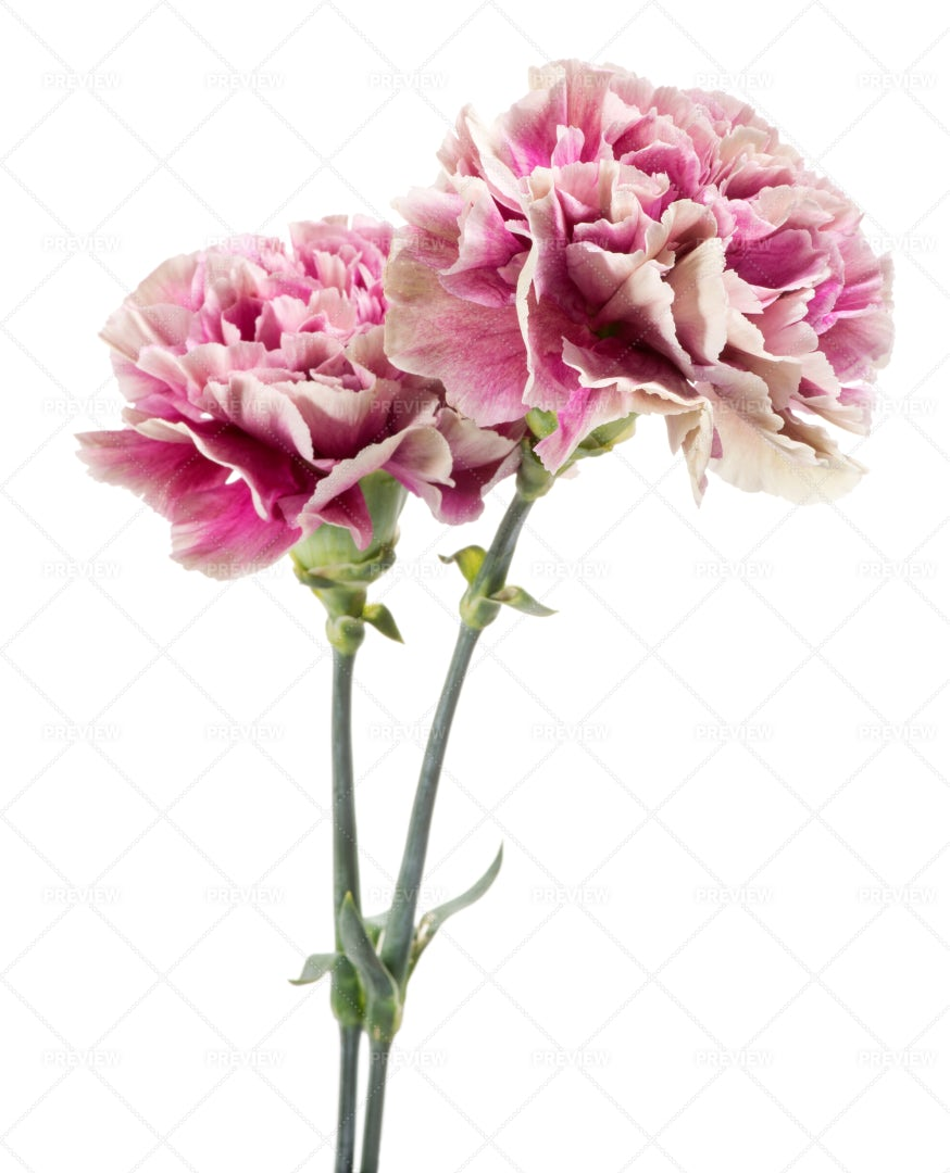 Pink And White Carnations: Stock Photos