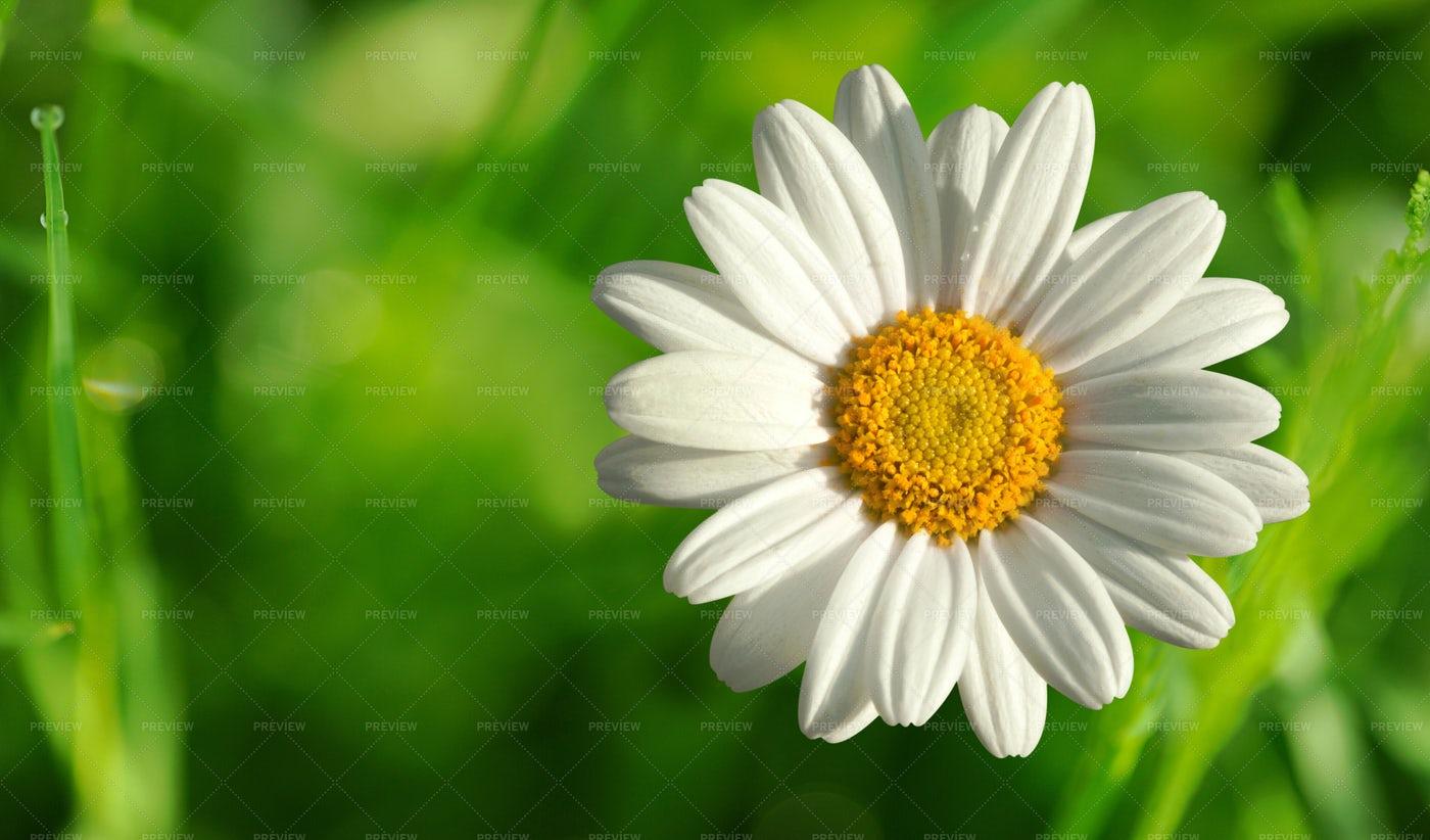 White Daisy Close-Up: Stock Photos