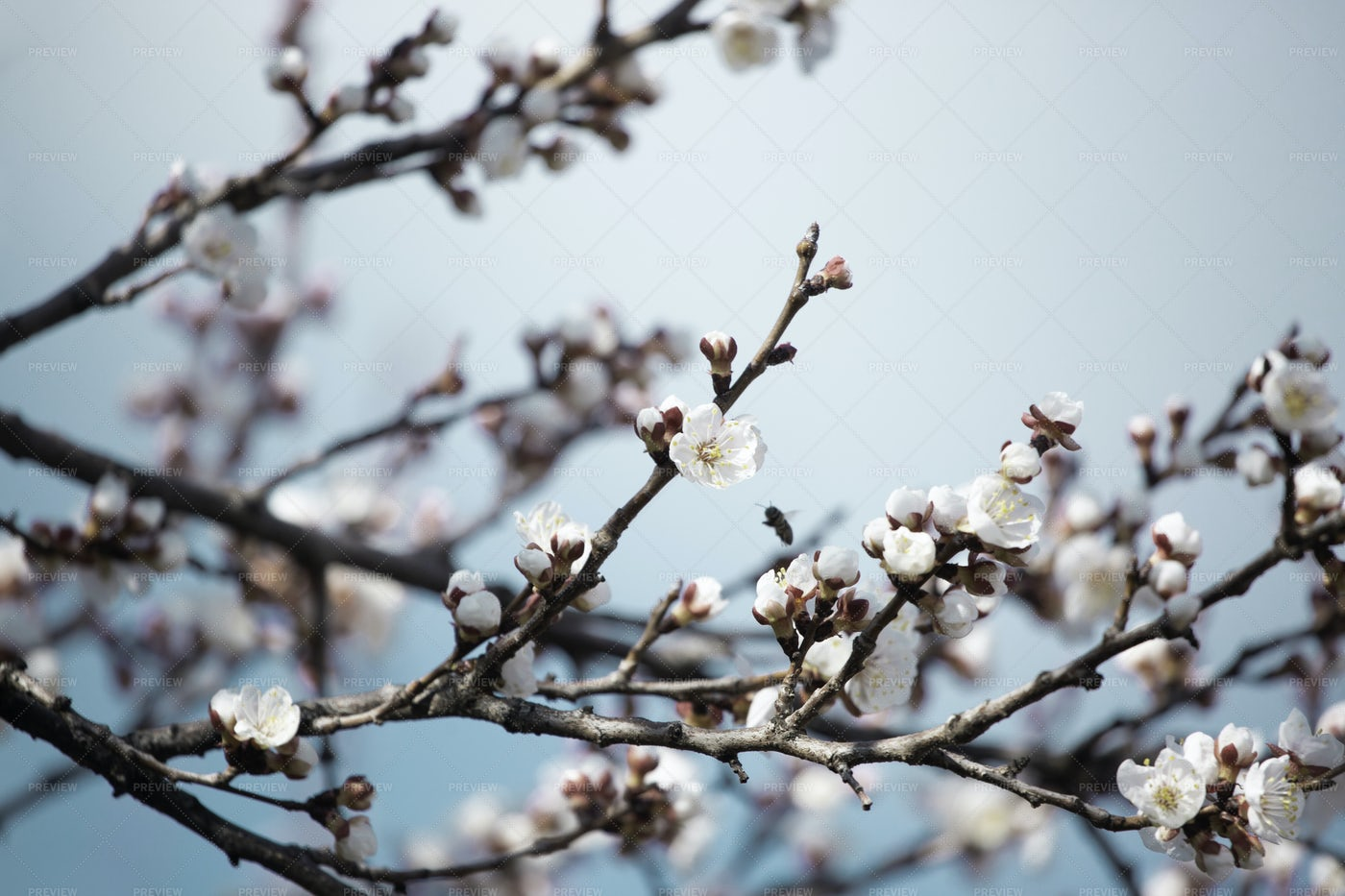 Apricot Tree Flowers With Soft Focus: Stock Photos
