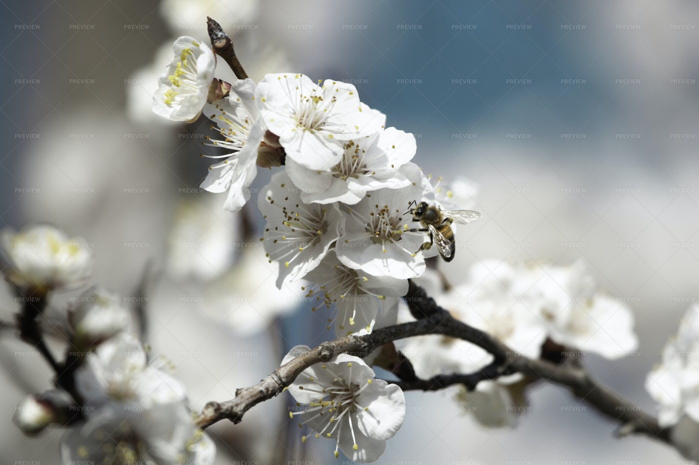 Spring White Flowers On A Tree Branch: Stock Photos