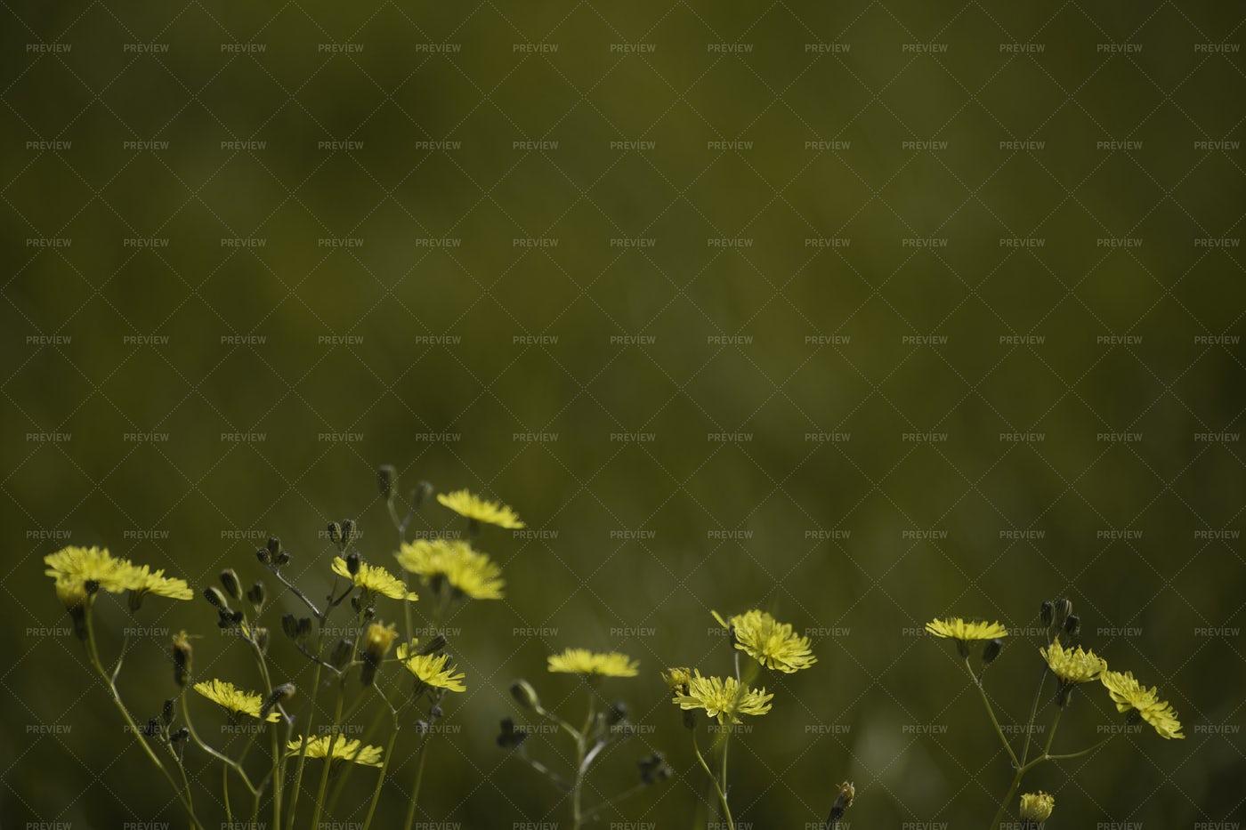 Yellow Dandelions On Green Grass: Stock Photos