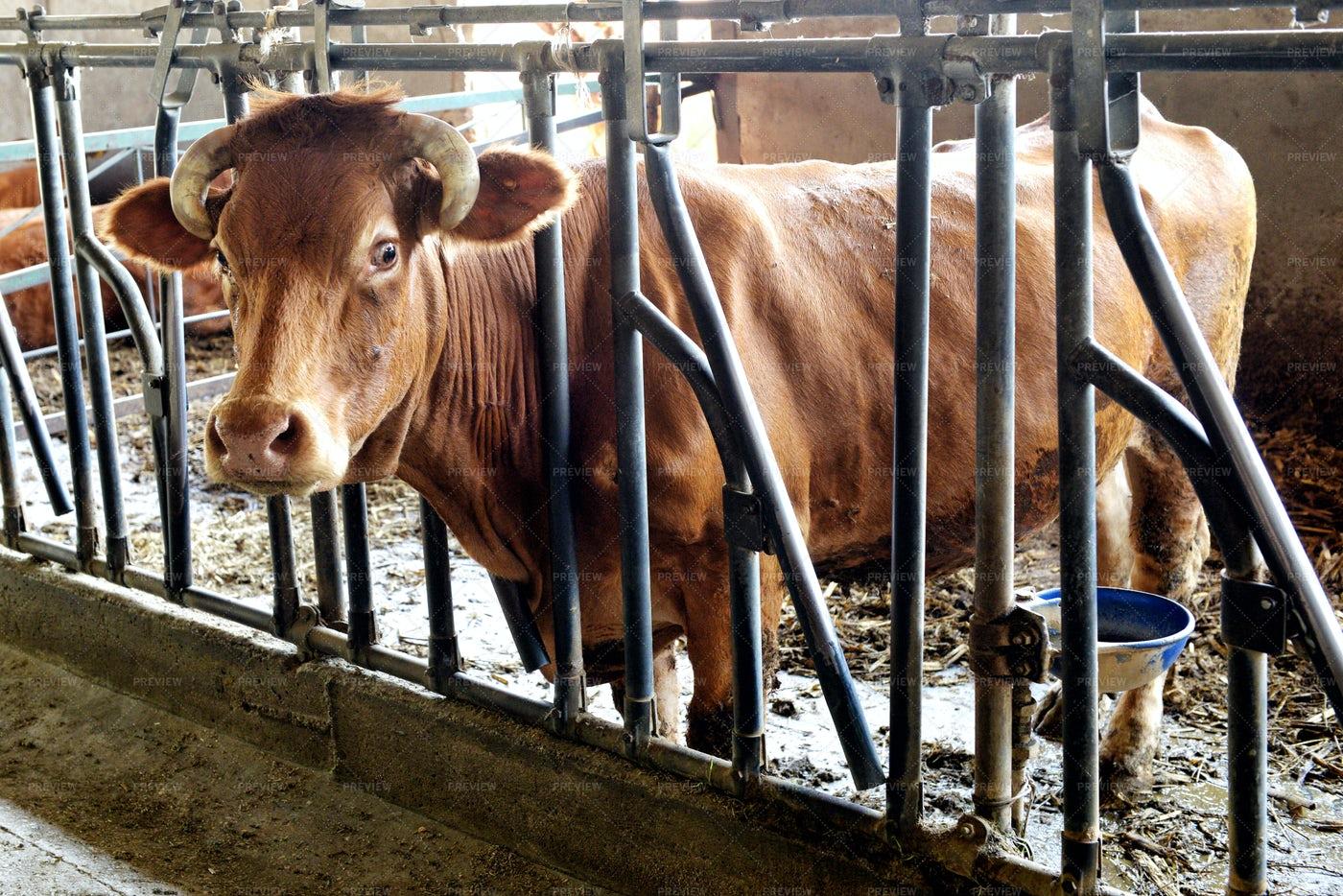 Ox In A Winter Barn: Stock Photos