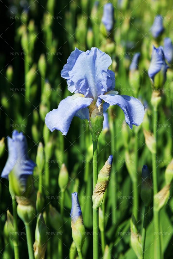 Blue Iris Plant: Stock Photos