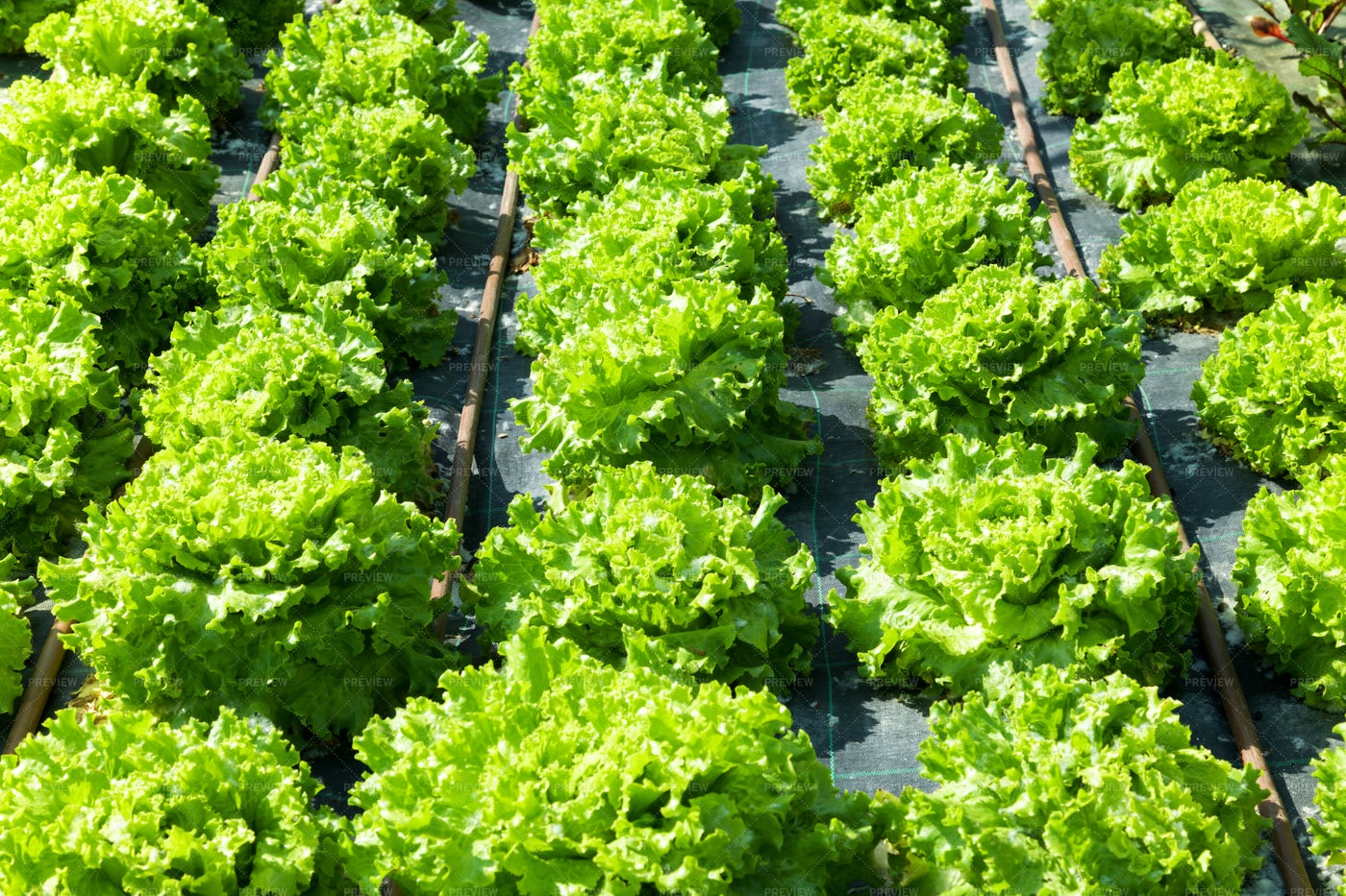Rows Of Green Lettuce: Stock Photos