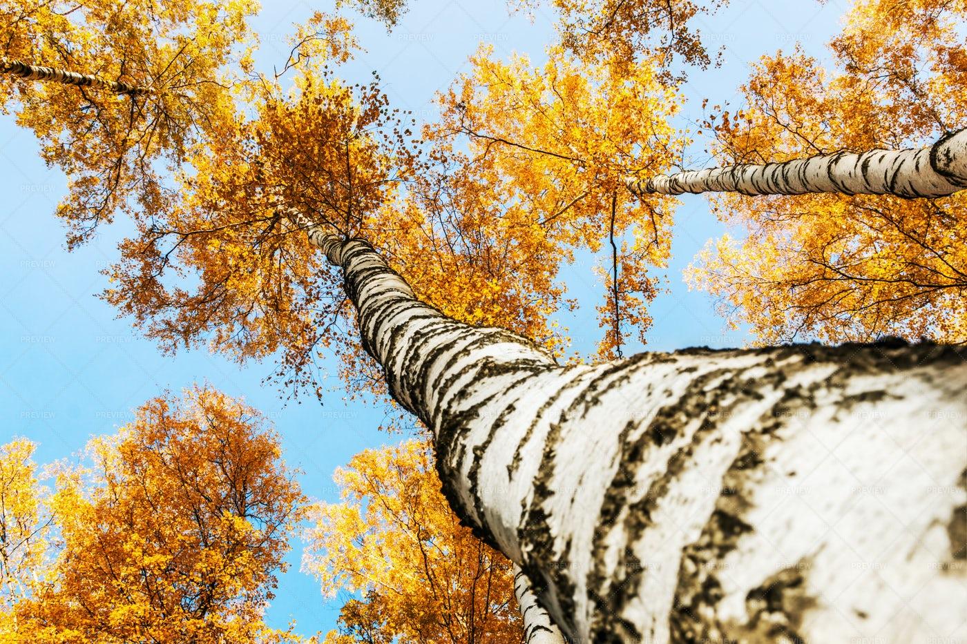 Tops Of Birch Trees: Stock Photos
